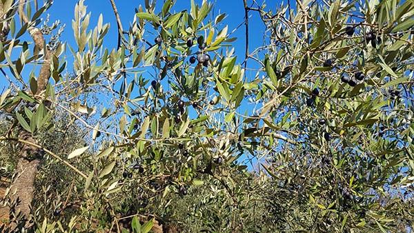 La-Cerreta-Sassetta-olivi